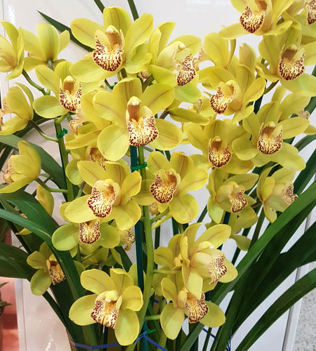 Quality Cymbidium Orchids