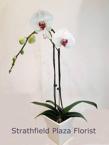 Flowering Orchid Pot Plant