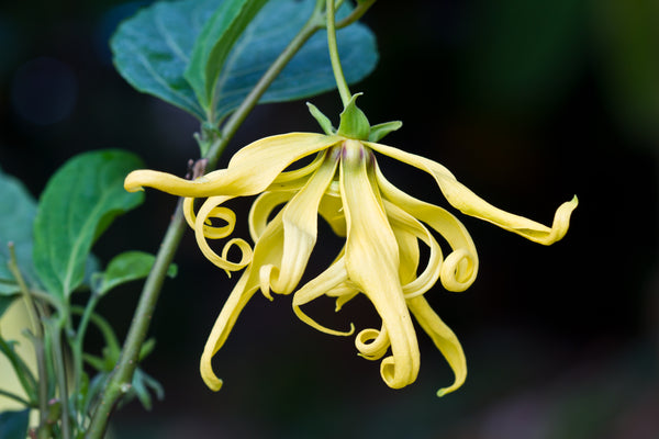 Ylang Ylang Flower Oil