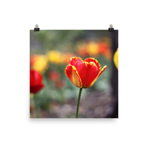 Totally Tulip Poster Print