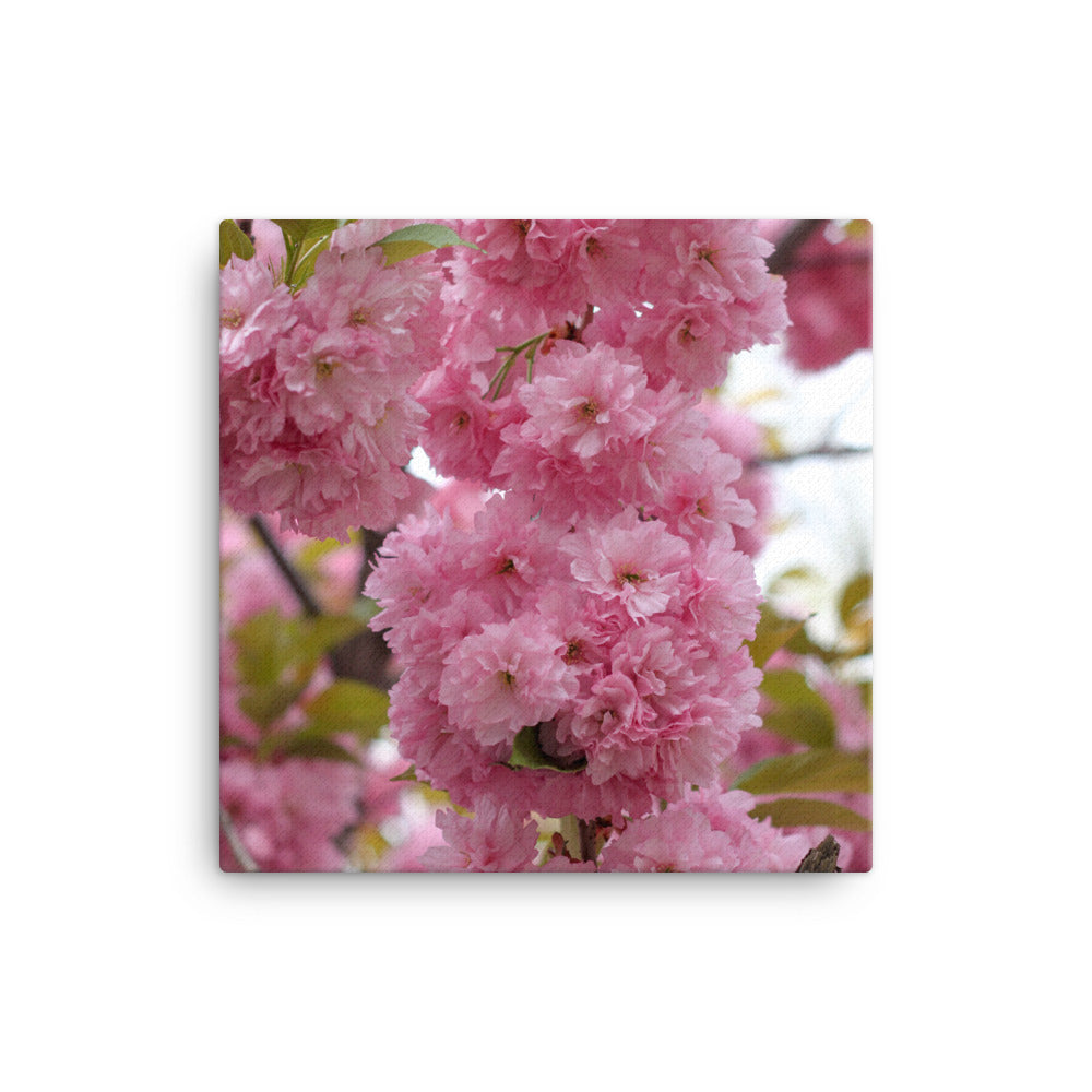 Cherry Blossoms Canvas