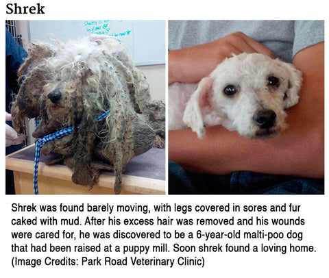 Shrek found barely moving wounds, raised in puppy mill