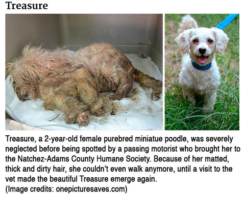 miniature poodle severely neglected