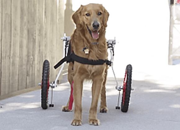 Best Friend Mobility Wheelchair - Sitgo - Le Pet Luxe