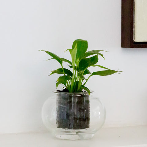 Peace Lily (Spathiphyllum) - CUP O FLORA®