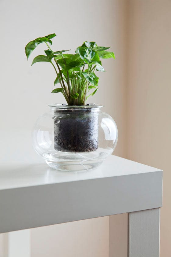 Small Self-Watering Glass Pot + Plant (DIY)