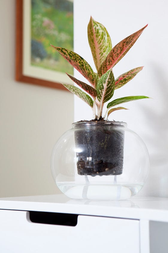 Extra Large Self-Watering Glass Pot