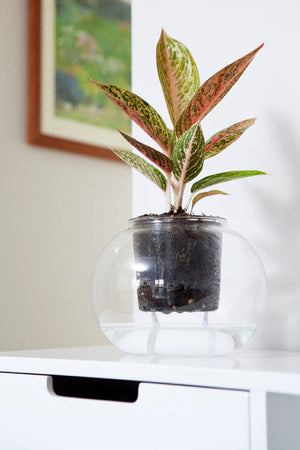 **BACK IN STOCK IN LATE OCTOBER 19** Extra Large Self-Watering Glass Pot with a wick (plant not included)