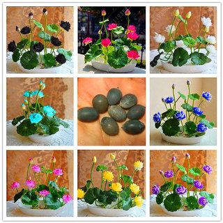Premium Bonsai Lotus Seeds 10 Seeds Pack 50 Off Today Only