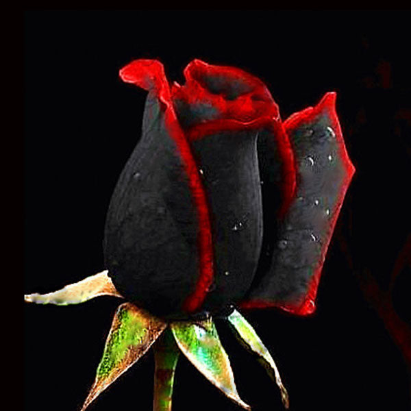 Rare Black Rose With Red Edge Premium Seeds (100Pcs / pack) (50% Off Today Only!)