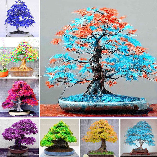 Japanese Maple Tree Premium Bonsai Seeds (30 pcs/pack) (50% Off Today Only!)
