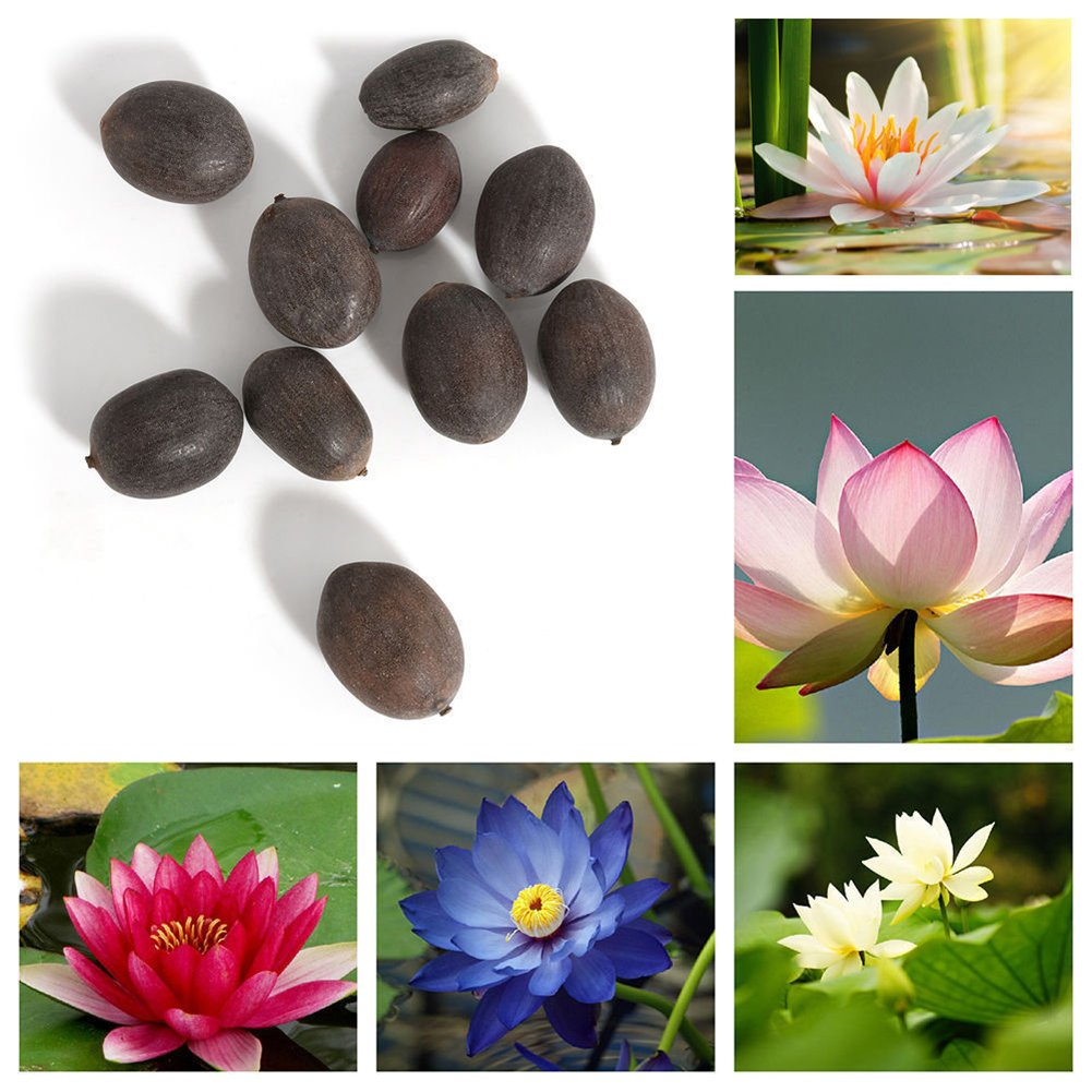 10pcs Bowl Lotus Water Lily Mix Flower Seeds Bonsai Pot Garden Plant Dwarf Trees 50% OFF Plants, Seeds & Bulbs