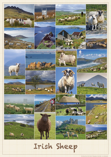 Irish Sheep Poster-Print