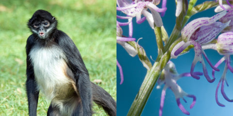 Monkey and naked man  orchid