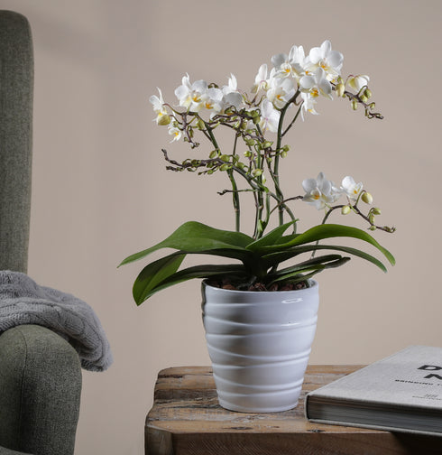 Orchid 'Wild' White in White Ceramic Pot