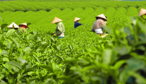Japanese tea garden standard to plant organic matcha in 20 years