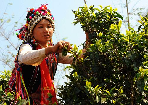 Women picking spring tea in tea garden, Yunnan