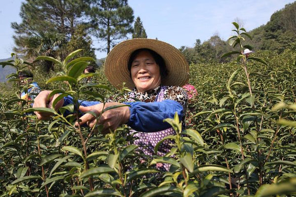 lapsang souchong black tea pick tea worker