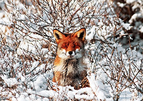RED FOX AMID SNOW-COVERED BUSHES HOLIDAY CARDS