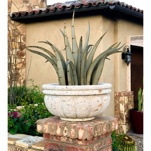 Octopus Agave in large concrete pot next to house