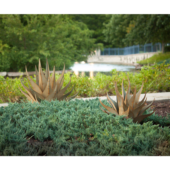 Two Sharkskin Agave in garden next to pathway