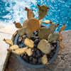 Steel Prickly Pear in pot next to pool - Redondo