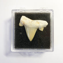 Load image into Gallery viewer, Shark Tooth Cretolamna