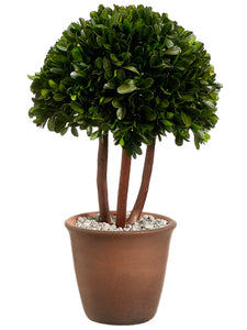 "13.25"" Preserved Boxwood Topiary in Terra Cotta Pot Green (pack of 2)"