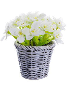 "5.5"" Narcissus in Basket  White (pack of 12)"