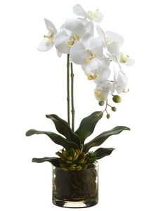 "20"" Phalaenopsis Orchid Plant/Echeveria in Glass Vase White Yellow (pack of 4)"