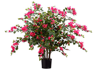 "24"" Bougainvillea Plant in Pot with 534 Flowers and 1978 Leaves Beauty (pack of 2)"