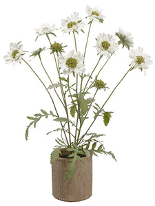 "27"" Scabiosa Plant in Cement Container White (pack of 1)"