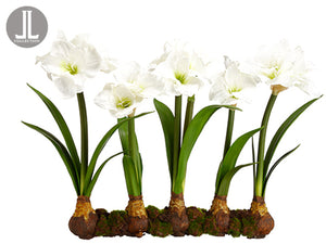 "22"" Amaryllis With Bulb on Soil and Moss White (pack of 2)"