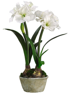 "27"" Amaryllis w/Bulb in Clay Pot White (pack of 2)"