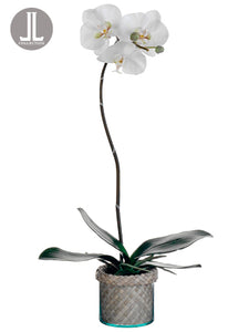 "27"" Phalaenopsis Orchid Plant in Glass/Basket Vase White Green (pack of 1)"