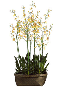 "60"" Oncidium Orchid Plant in Basket Yellow Burgundy (pack of 1)"
