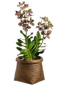 "22"" Vanda Orchid Plant in Basket Purple Green (pack of 1)"