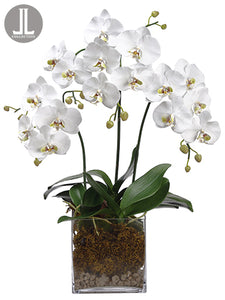 "31"" Phalaenopsis Orchid Plant x3 in Glass Vase White (pack of 1)"