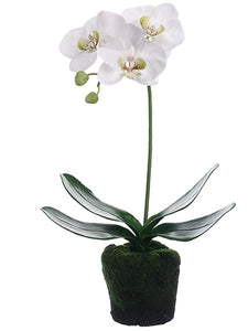 "12"" Phalaenopsis Orchid Plant with Soil & Moss White (pack of 6)"