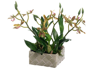 "9"" Mini Starolous Orchid Plant in Basket Green Burgundy (pack of 4)"