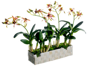 "13"" Dendrobium Orchid Plant in Basket Green Mauve (pack of 1)"