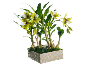 "18"" Star Orchid Plant in Basket Green Cream (pack of 1)"