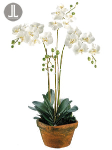 "36""Hx10""Wx10""L Phalaenopsis Orchid in Terra Cotta Container White (pack of 1)"