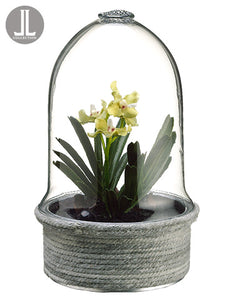"9.5"" Mini Vanda Orchid Plant in Glass Terrarium Lime (pack of 2)"