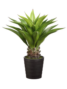 "32"" Agave Attenuata Plant with 25 Leaves in Black Plastic Pot Green (pack of 1)"