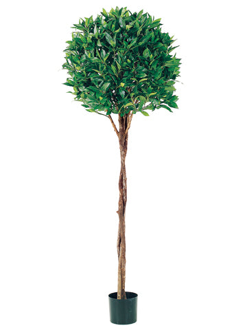 5' Bay Leaf Topiary w/Braided Trunk in Pot  (pack of 2)