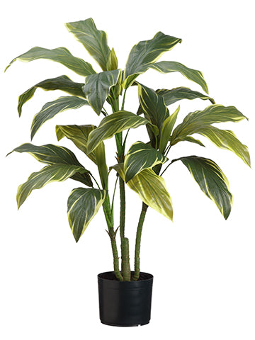 3.5' Cordyline Plant x3 in Pot Variegated (pack of 4)