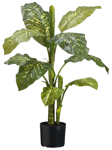 3' Dieffenbachia Plant in Pot  Green (pack of 4)