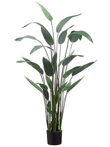 "64"" Water Canna Plant x11 in Pot Green (pack of 2)"