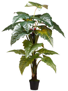 "78"" Philodendron Red Prince x2 in Pot knock-down Packing Green (pack of 2)"